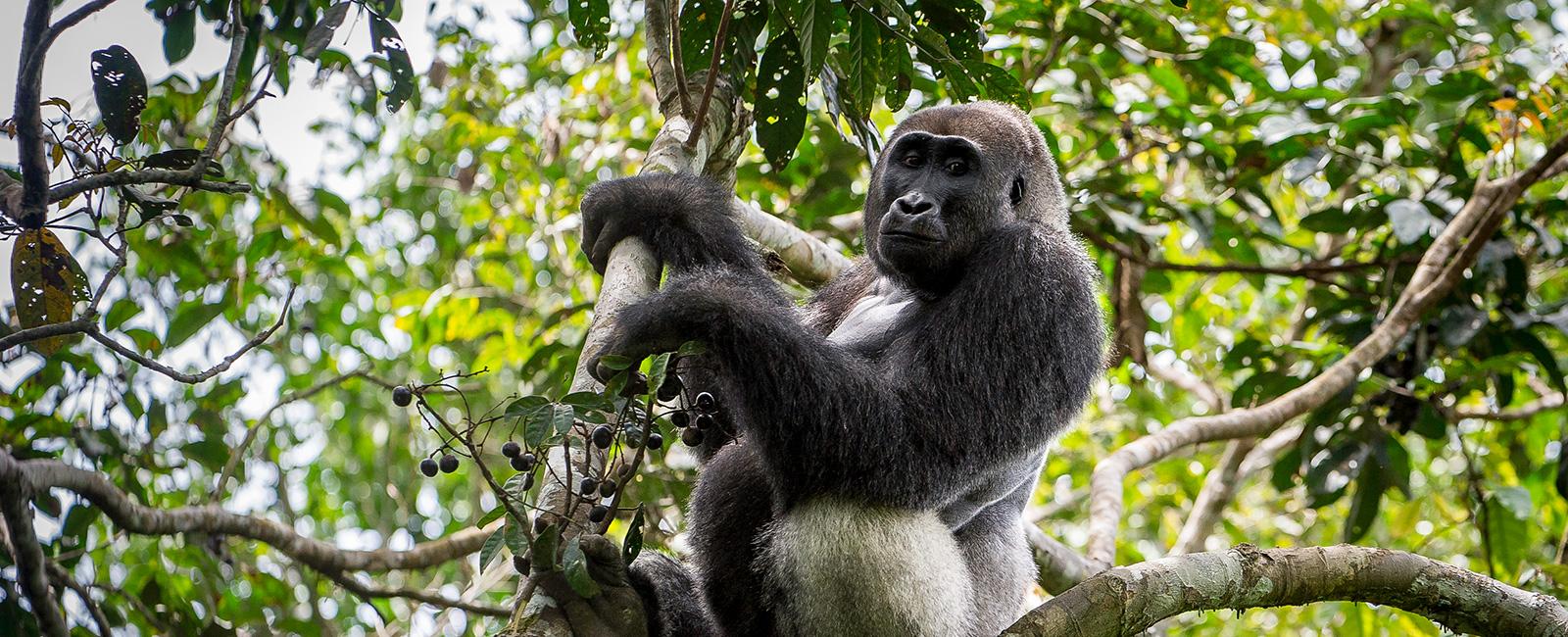 kongo01