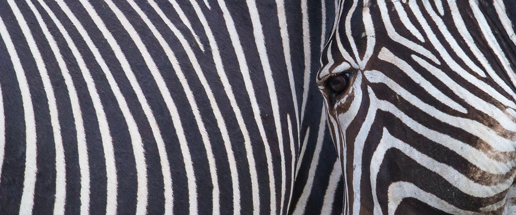kenia_zebra_neu