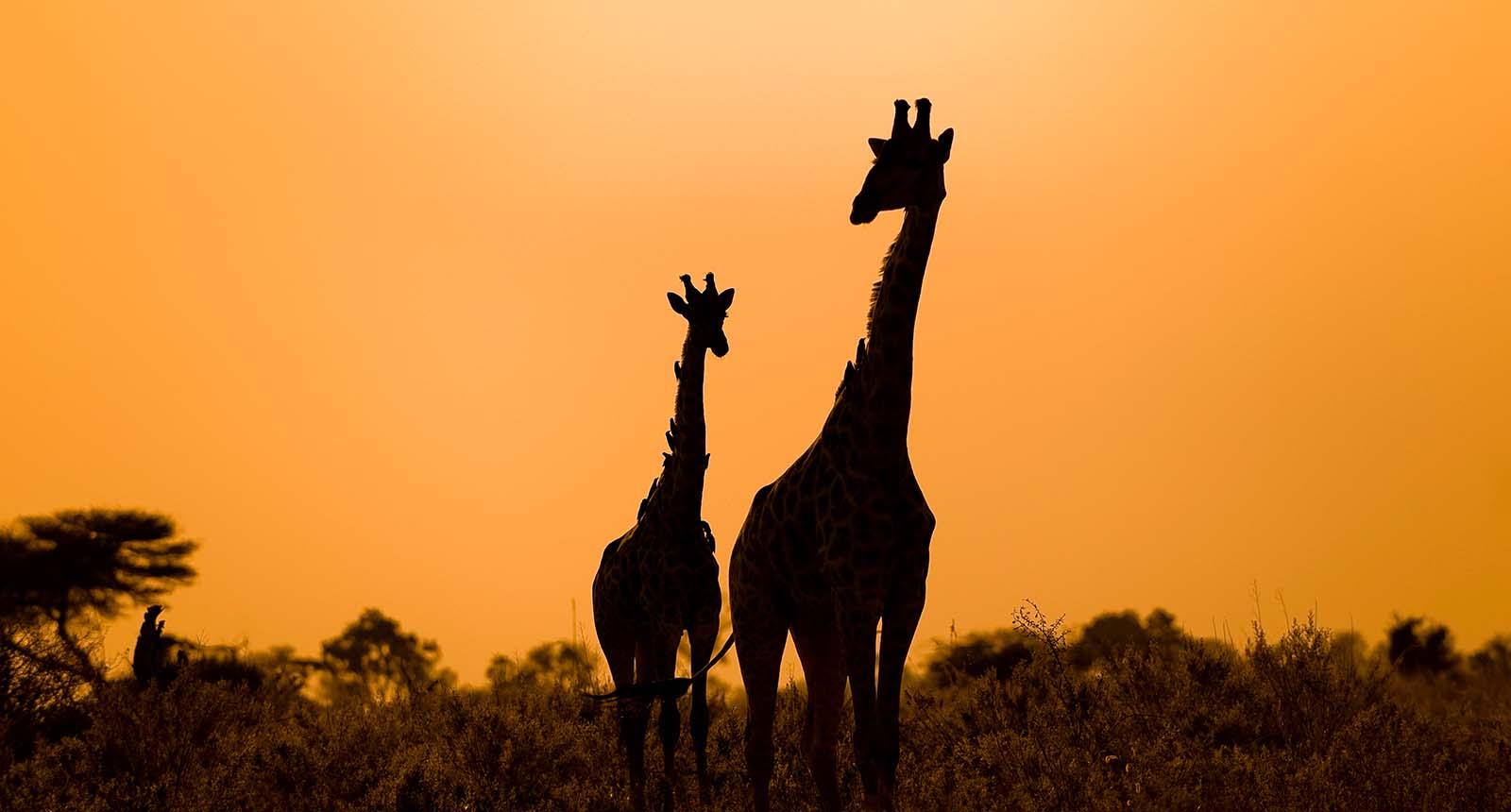 home_giraffe